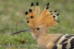 Härfågel_2181