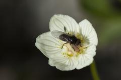 Slåtterblomma med en fluga av okänd sort