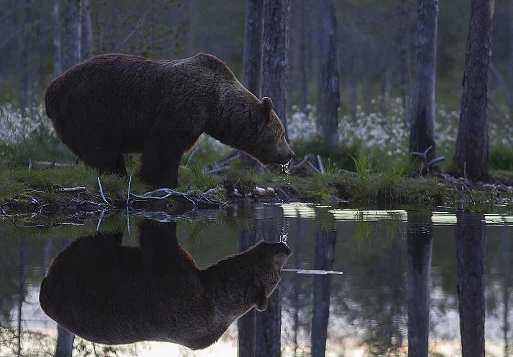 Den stora björnhannen dricker i sommarnatten
