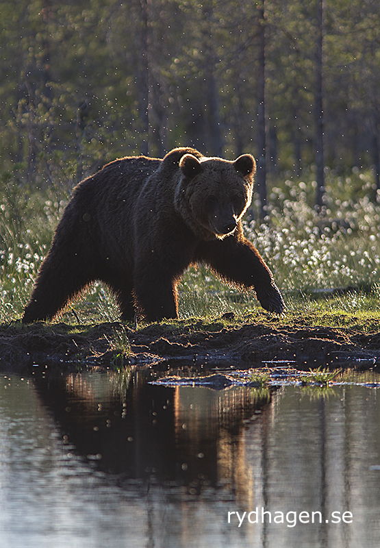 Björn i strandkanten