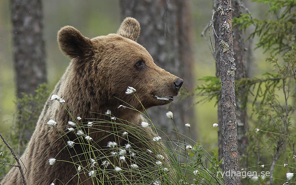 Björn som ser nöjd ut
