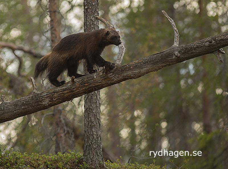 Järv klättrar på liggande stam