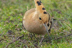Härfågel_2171
