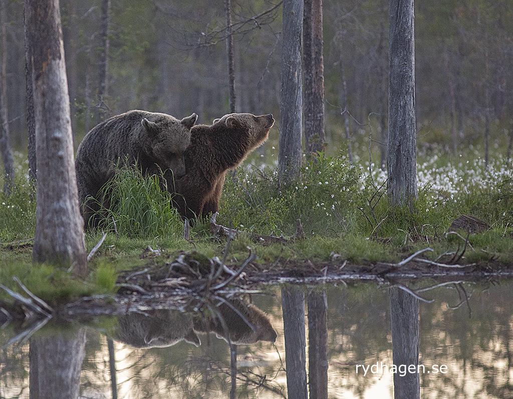 Björnparning_0496