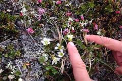 Krypljung och fjällfröna är två av fjällets små växter, barnens fingrar som jämförelse.