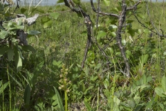 Grönyxne, eller grönkulla som den kallades förr, på växtplatsen nära Torne träsk