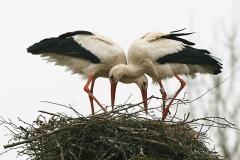 Vit-stork-Härnestad