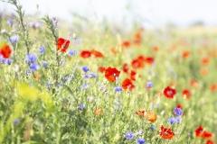 Blommande-vägkant_4482