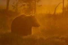 soluppgångsbjörn_9249