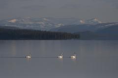 Sångsvan-Lappland