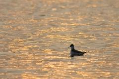 brednäbbad simsnäppa
