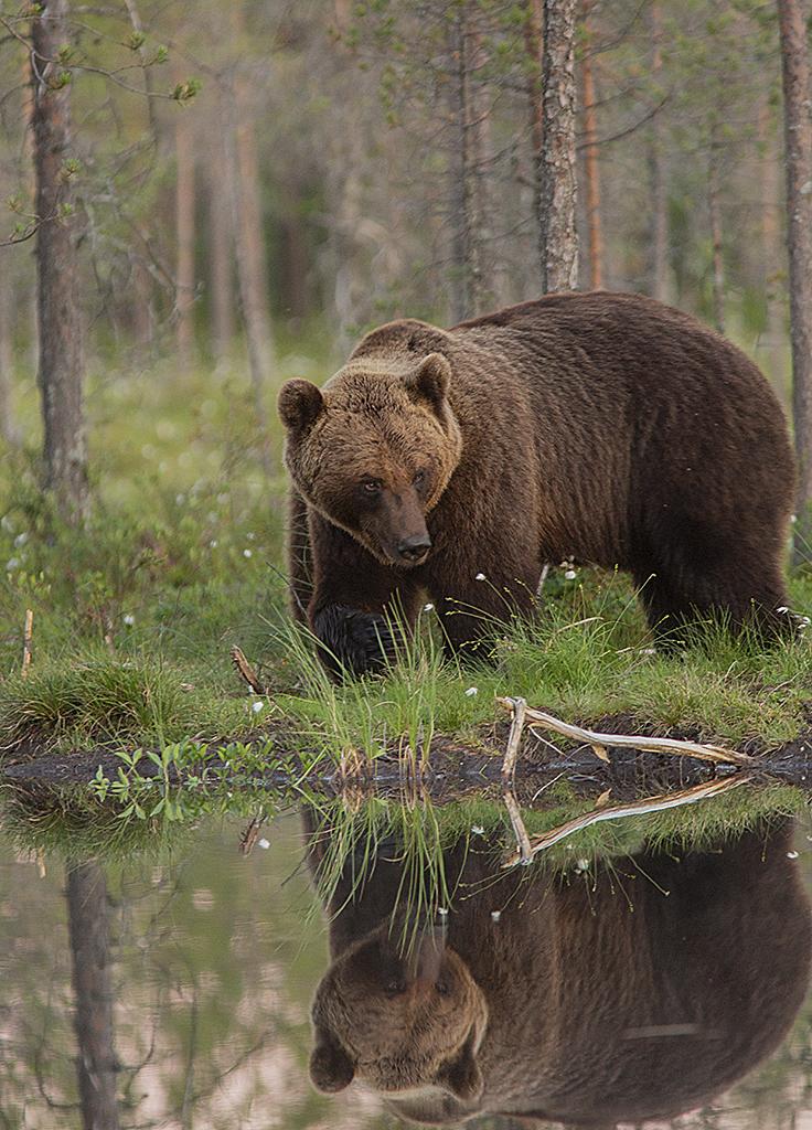 Björn vid vatten