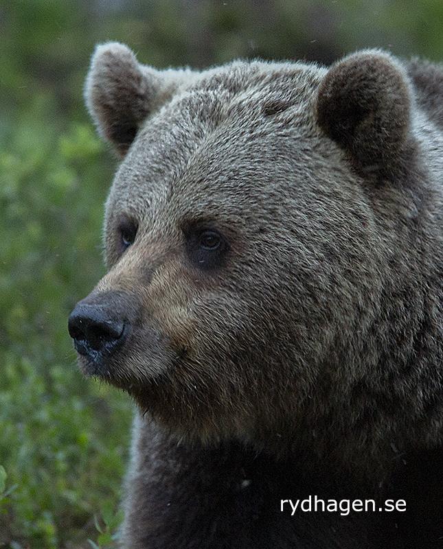 Björn, närbild
