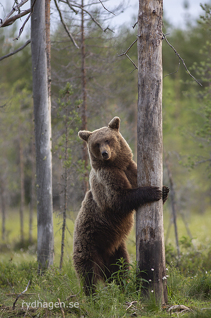 Björn vid träd