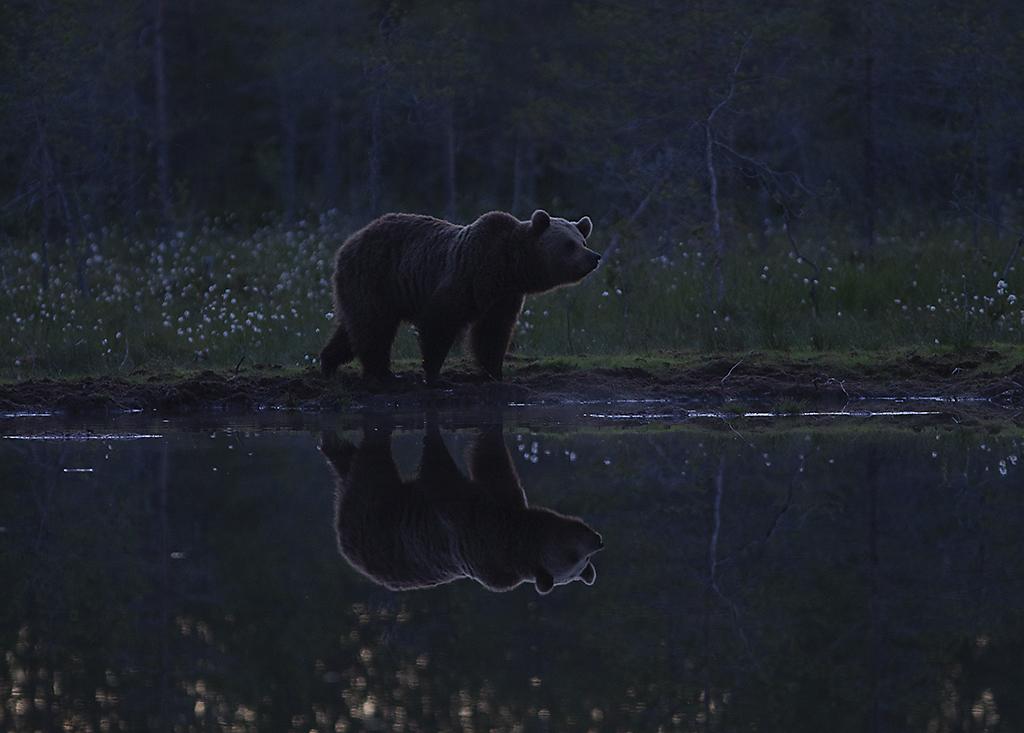 Björnen speglas i den stilla sjön i sommarnatten