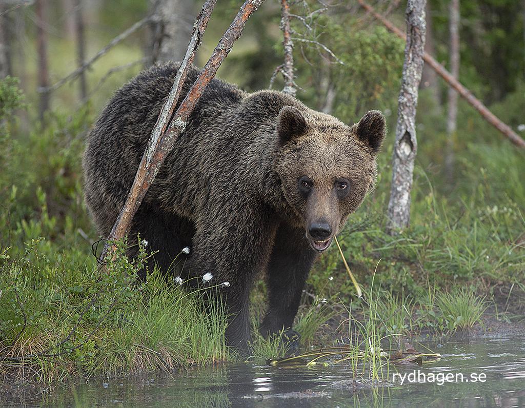 Björn äter vattenväxter - jag tyckte han kunde ha gått ut och badat lite