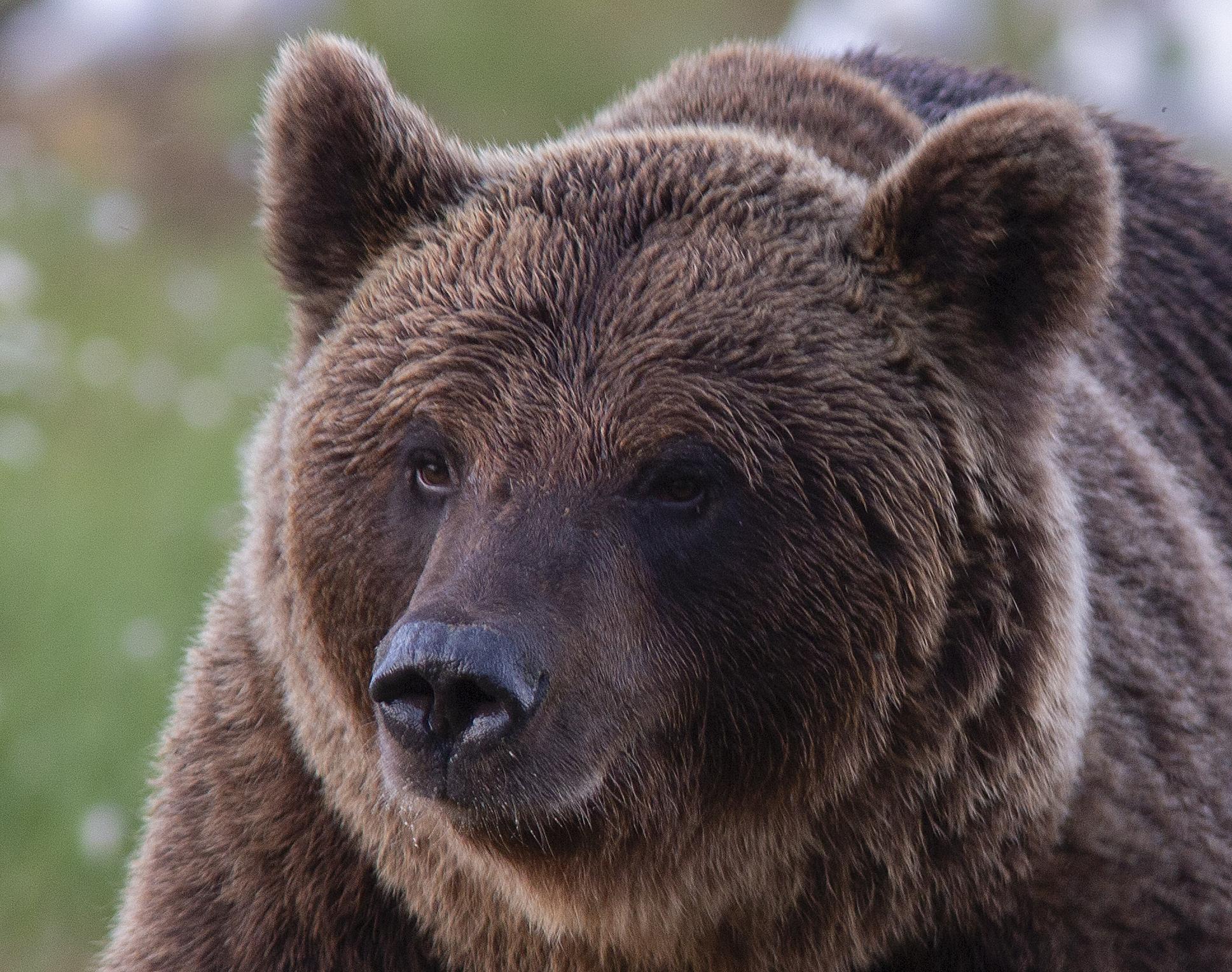 Brunbjörn, ser gosig ut...