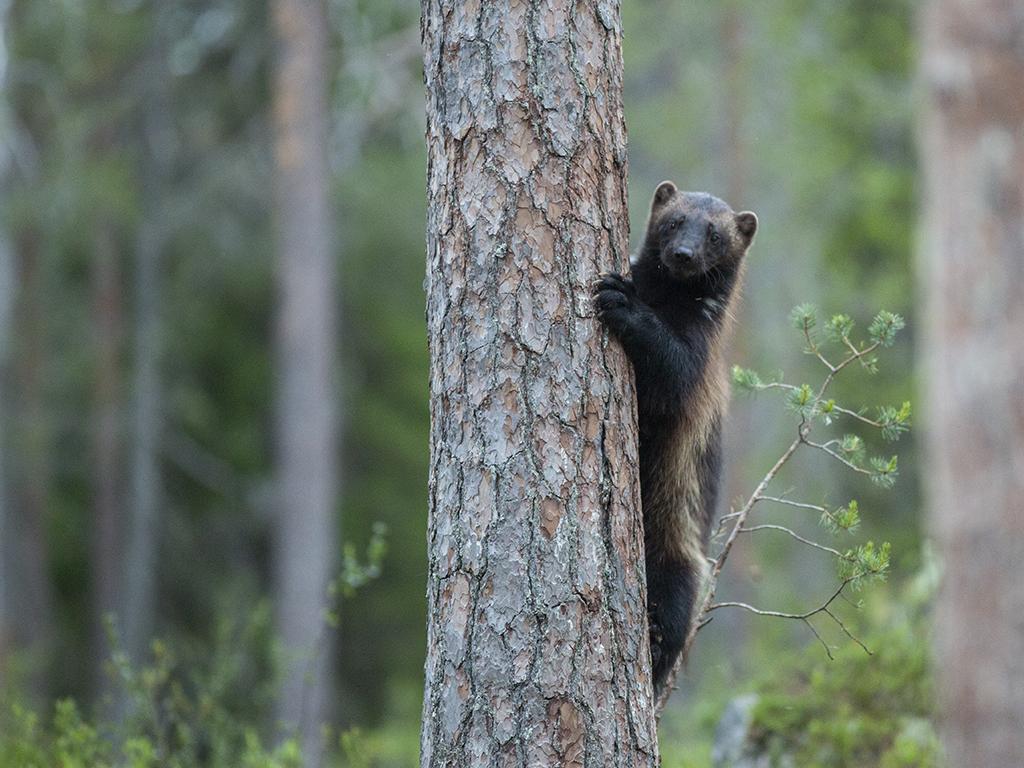 Järv som klättar på träd