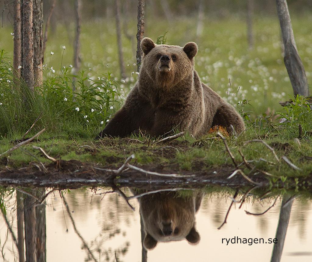 Teddybjörn?