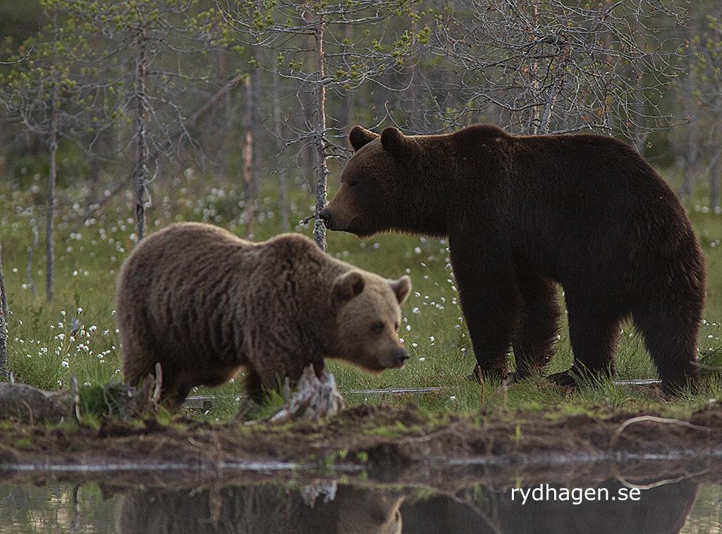 björnar