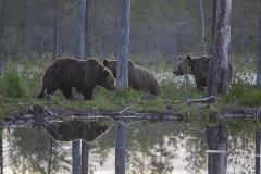 Tre björnar - den här natten var det många, max 8 framför gömslet samtidigt
