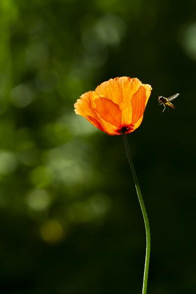 vallmo-och-blomfluta