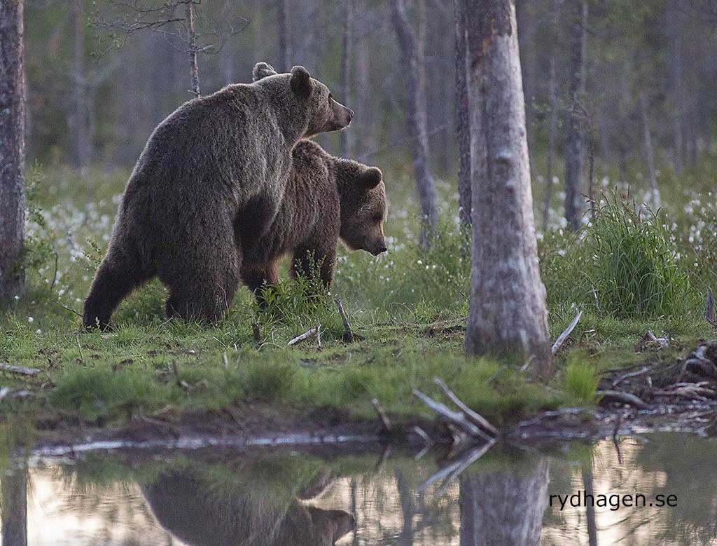 Björnparning_0445