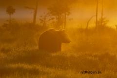 Soluppgångsbjörn