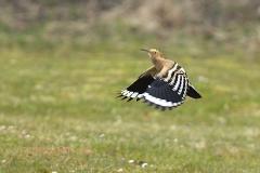 Härfågel_1862