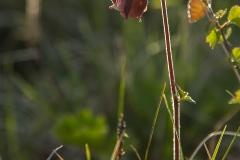 Humleblomster