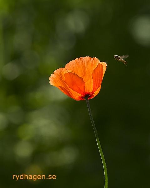 Vallmo och blomfluga