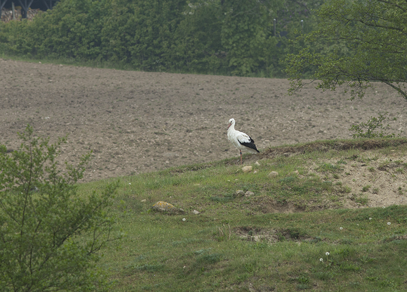 vit stork hemma