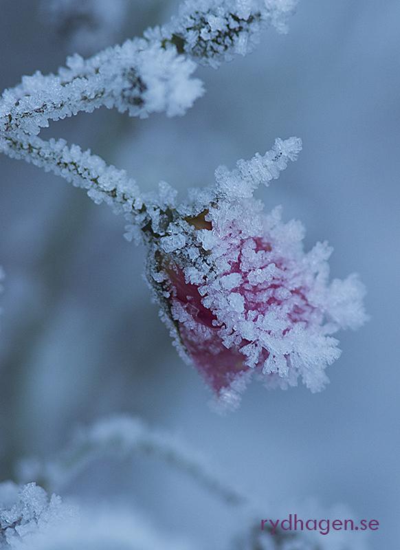 Att dö med stil... rosen är klädd i glittrande iskristaller.