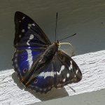 Sälgskimmerfjäril-Trollemöllavägen-Degeberga